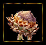 Pride of the Artichokes ! by verenabloo, Photography->Flowers gallery