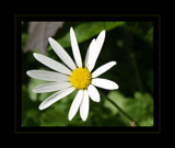 Dasiy Daisy by fra99y, Photography->Flowers gallery