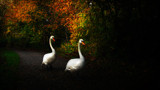 AUTUMN SWANS by LANJOCKEY, photography->birds gallery