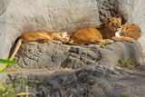 Midday Snooze by Ramad, photography->animals gallery
