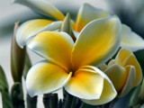 Plumeria by Anita54, Photography->Flowers gallery
