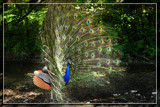 Proud Peacock 3 by Jimbobedsel, Photography->Birds gallery