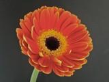 Gerbera Orange by ccmerino, photography->flowers gallery