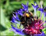 Bee on Cornflower by LynEve, photography->flowers gallery