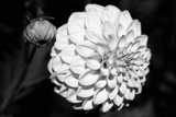Dahlia In B&W by LynEve, contests->b/w challenge gallery