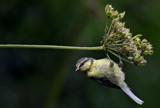 The Swinging Bluetit.... by biffobear, photography->birds gallery