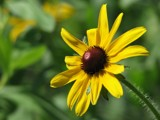 Black Eyed Susan by rforres, Photography->Flowers gallery