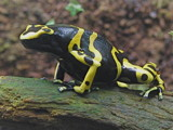 Poison Dart Frog by ccmerino, Photography->Reptiles/amphibians gallery