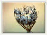 Queen Anne's Lace Seedhead by gerryp, Photography->Macro gallery