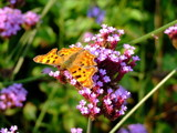 copper and pink by JQ, Photography->Butterflies gallery