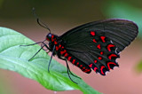 Red spotted Cattleheart by biffobear, photography->butterflies gallery