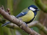Great Tit by biffobear, photography->birds gallery