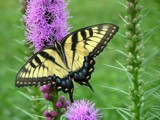 Eastern Tiger Swallowtail on Blazing Star by MelodyMosier, Photography->Butterflies gallery