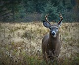 Buck by GIGIBL, photography->animals gallery