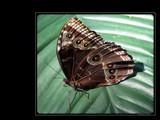 Fanciful Flapper XI by Hottrockin, Photography->Butterflies gallery