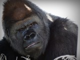 GORILLA by picardroe, photography->animals gallery