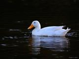 Duckin Light. by trisbert, Photography->Birds gallery