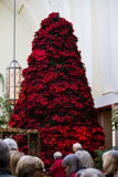 Poinsettia Tree by Pistos, photography->flowers gallery
