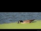 Duck, Duck, Goose by Hottrockin, Photography->Birds gallery