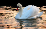 Evening Swan by braces, Photography->Birds gallery