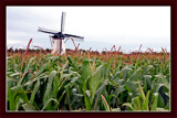 Zeeland Countryside (33), Windmill in Cornfield (Maizefield) by corngrowth, Photography->mills gallery