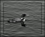 B/W Challenge - Common Loon by icedancer, contests->b/w challenge gallery