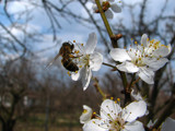 Apricot-tree is blooming by KarolinaNik, photography->insects/spiders gallery