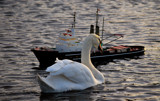 Little Boat Or Big Swan? by braces, Photography->Birds gallery