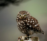 Little owl by biffobear, photography->birds gallery