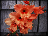 Hocks AKA Gladiolus by phasmid, Photography->Flowers gallery