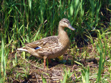 Hello Duckie fancy a crust by the_runcorn_womble, Photography->Birds gallery