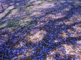 Carpet of Purple (last Jacaranda Series) by J_272004, photography->nature gallery