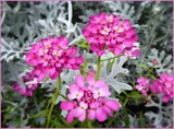 Candytuft by LynEve, photography->flowers gallery
