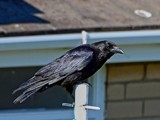 Carrion Crow by biffobear, photography->birds gallery