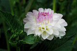 Dahlia for Today. by Ramad, photography->flowers gallery