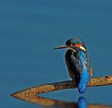 Fisher King by biffobear, photography->birds gallery