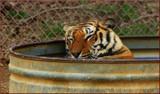 Ahhhhhh------------zzzzzzzzzzzz by tigger3, photography->animals gallery