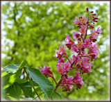 Red Horse Chestnut by trixxie17, photography->flowers gallery