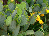 Cactus Maximus by connodado, Photography->Flowers gallery