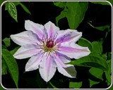 """""""Nellie Moser"""" Clematis by trixxie17, photography->flowers gallery"""