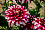 Dahlia Show 43 by corngrowth, photography->flowers gallery