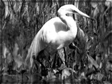 Egret - B&W by trixxie17, contests->b/w challenge gallery