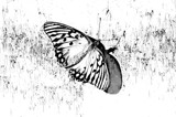 A Simple Sketch Butterfly by bfrank, contests->b/w challenge gallery