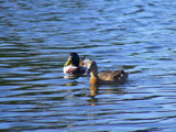 Swimming Ducks by BlueBoy22, Photography->Birds gallery