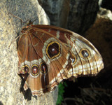 Owl or Butterfly by dancer3660, Photography->Butterflies gallery