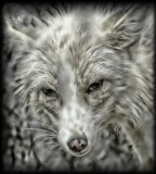 Foxy by tigger3, contests->b/w challenge gallery
