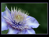 A Blue Flower by photoimagery, Photography->Flowers gallery