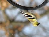 Birdius Upsidedownius by Hottrockin, Photography->Birds gallery
