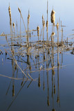 Cattail Reflections by Silvanus, photography->nature gallery