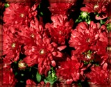 Red Mums by trixxie17, photography->flowers gallery